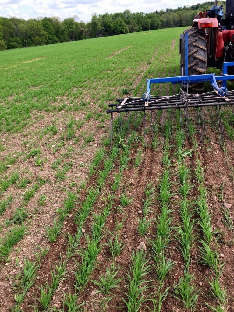 Spring tine weeding the oats